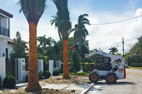 New palm trees planted in front a large estate in Boca Raton, FL