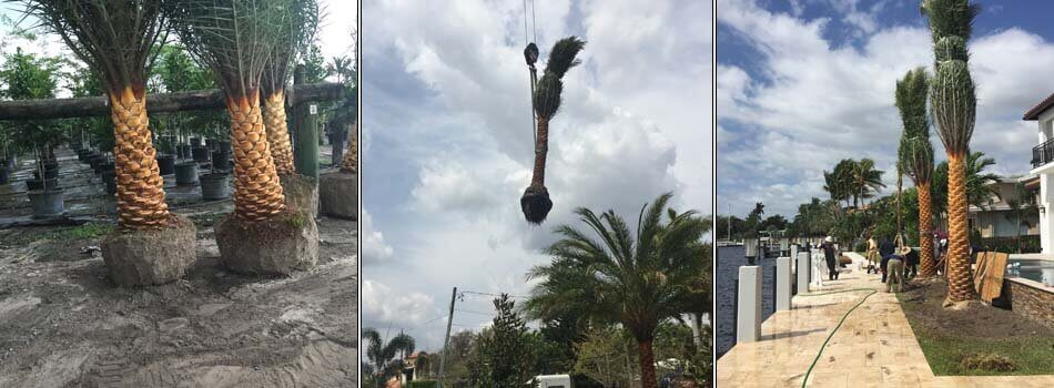 New large palm trees being moved by a large crane and planted by Go2Scape.Inc in Boca Raton, FL