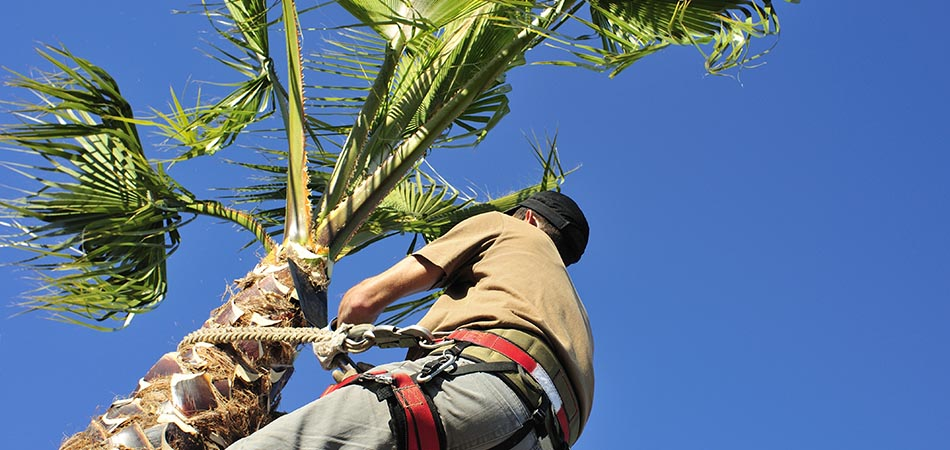 Palm tree being trimmed  by Go2Scape.Inc in Parkland, FL